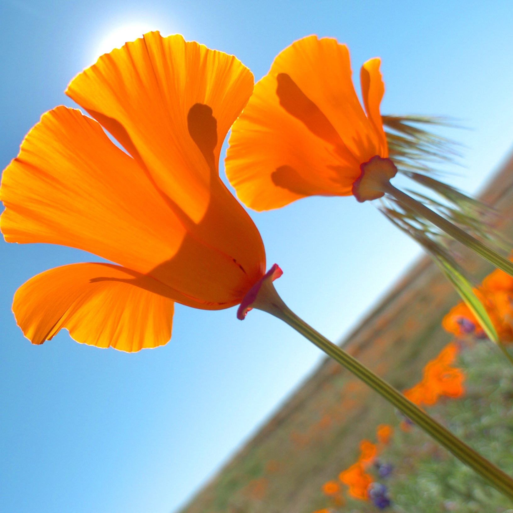 Calif. poppies_1
